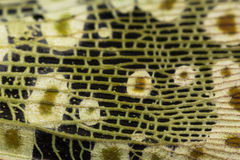 Skrzydło Lanternflies pluskwa Obraz Royalty Free