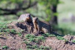 Skrzyknąć mangusty Obok nory W termitu kopu Fotografia Royalty Free