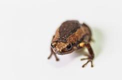 Skrzyknąca byk żaba na bielu zdjęcia stock