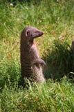 Skrzyknąca mangusta Zdjęcia Royalty Free