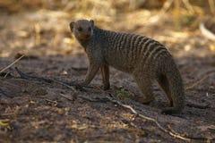 Skrzyknąca mangusta zatrzymująca patrzeć my na safari obrazy royalty free