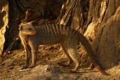 Skrzyknąca mangusta zatrzymująca patrzeć my na safari zdjęcia stock
