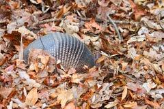 Skrzyknący armadyl (Dasypus novemcinctus) Obrazy Royalty Free