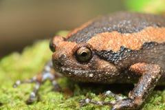 Skrzyknący bullfrog zdjęcie stock