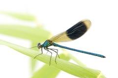 skrzyknący calopteryx demoiselle splendens fotografia stock