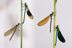 Skrzyknący i piękni demoiselles (Calopteryx splendens i C V fotografia royalty free
