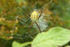 skrzyknący ogrodowy pająk Zdjęcia Royalty Free