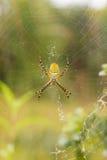 skrzyknący ogrodowy pająk Fotografia Royalty Free