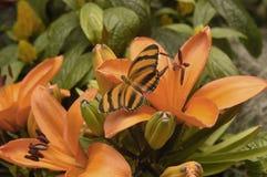 Skrzyknę Pomarańczowy Motyli Odpoczywać na Pomarańczowych dzień lelujach Fotografia Royalty Free