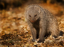 skrzyknąca mangusta Zdjęcie Royalty Free
