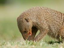 skrzyknąca mangusta Obraz Stock