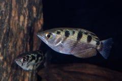 Skrzyknący archerfish Toxotes jaculatrix Fotografia Stock