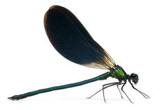skrzyknący calopteryx demoiselle samiec splendens Zdjęcie Royalty Free