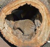 Skrzyknący mangust Mungos mungo Fotografia Stock