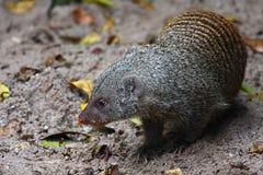 skrzyknący mangusty mungo mungos Obrazy Royalty Free