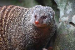 skrzyknący mangusty mungo mungos Zdjęcia Stock