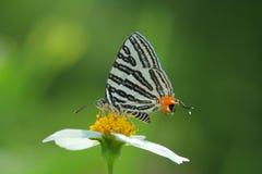 Skrzyknący Silverline motyl Zdjęcie Stock