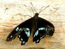 skrzyknący Swallowtail motyl 1 Zdjęcia Stock