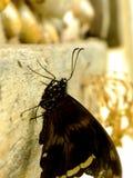 skrzyknący Swallowtail motyl 2 Obraz Stock