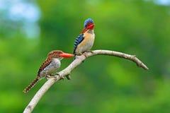 Skrzyknący zimorodków ptaki Zdjęcia Royalty Free
