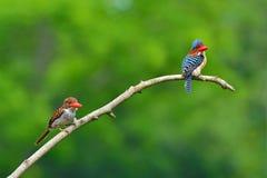 Skrzyknący zimorodków ptaki Obrazy Royalty Free