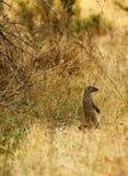 skrzyknąca mangusta Fotografia Stock