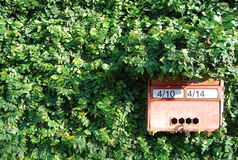 Skrzynka pocztowa na ficus pumila zieleni ścianie Obrazy Stock