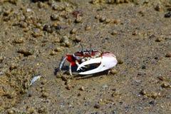 Skrzypacza krab - Africa, Madagascar Fotografia Stock