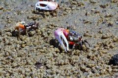 Skrzypacza krab - Africa, Madagascar Zdjęcie Stock
