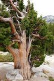 Skrzywiony Drzewny dorośnięcie w granicie zdjęcia stock