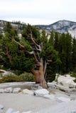Skrzywiony drzewo w Yosemite parku narodowym fotografia royalty free