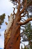 Skrzywiony drzewo - Yosemite fotografia royalty free