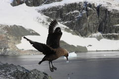 Skua Royalty Free Stock Image