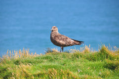 Skua. Portrait of a skua at Iceland Royalty Free Stock Image