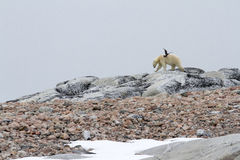 Skua и полярный медведь Стоковая Фотография RF