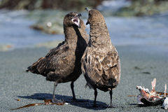 Skua. Two Great Skua fighting on a beach Royalty Free Stock Photography
