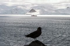 Skua And Ship In Antarctica Stock Photography