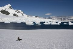 Skua, antarctica. Skua on cuverville island in Antarctica stock photography
