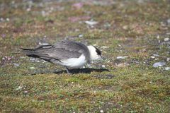 Skua on the Arctic tundra Royalty Free Stock Photos