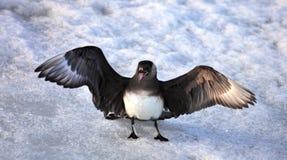 Skua arctique Images libres de droits