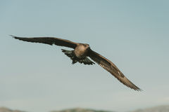 Skua arctique en vol Photographie stock