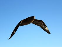 Skua de Brown Imagem de Stock Royalty Free