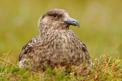Skua de Brown, Catharacta a Antártica, pássaro de água que senta-se na grama do outono, nivelando a luz, Noruega Foto de Stock