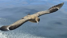Skua do Catharacta do grande Skua em voo no CCB azul da água do oceano Foto de Stock