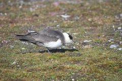 Skua en la tundra ártica Fotos de archivo libres de regalías
