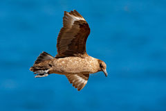 Skua flight. Brown skua, Catharacta antarctica, water bird flying above the sea., evening light, Argentina. Bird fly with blue oce. N royalty free stock images