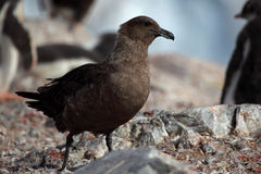 Skua in gentoo penguin colony, Antarctica Stock Photography