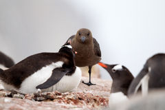 Skua and Gentoo Penguin Stock Photography