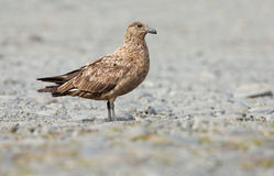 Skua grand arctique (skua de Stercorarius) Photos stock