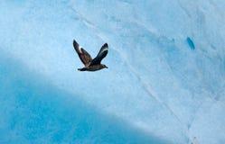 Skua grand arctique (skua de Stercorarius) Images libres de droits